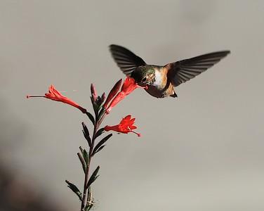 hummingbird Sept2016  066