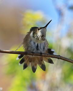hummingbird Sept2016  120