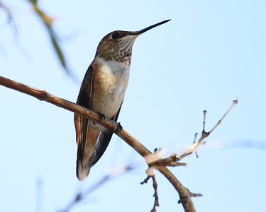 hummingbird Sept2016  128