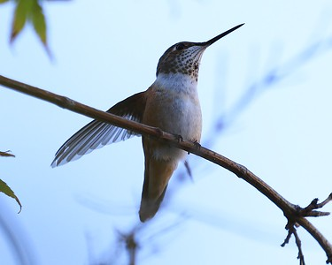 hummingbird Sept2016  008