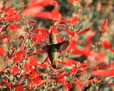 hummingbird Sept2016  041