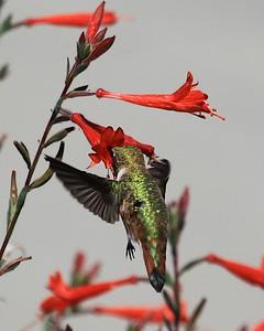 hummingbird Sept2016  090