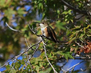 hummingbird Sept2016  074