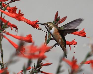 hummingbird Sept2016  082