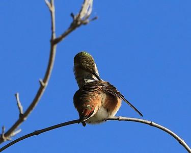 hummingbird Sept2016  054