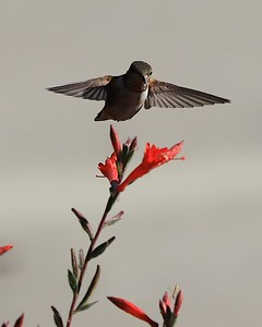 hummingbird Sept2016  065