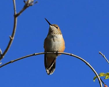 hummingbird Sept2016  045
