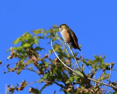 hummingbird Sept2016  072