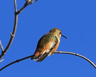 hummingbird Sept2016  059