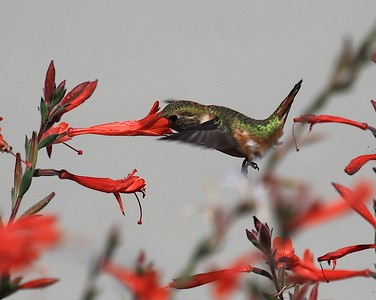 hummingbird Sept2016  079