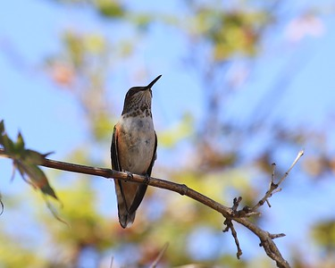 hummingbird Sept2016  098