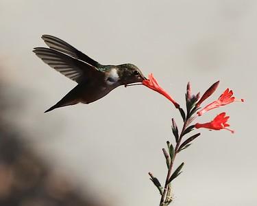 hummingbird Sept2016  068
