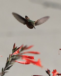 hummingbird Sept2016  064