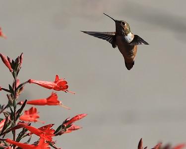 hummingbird Sept2016  063