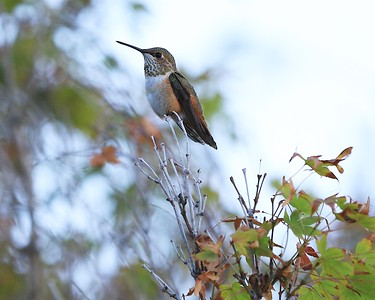 hummingbird Sept2016  025