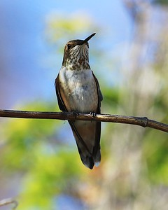 hummingbird Sept2016  109
