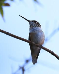 hummingbird Sept2016  010