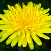 Dandelion appearing on the front lawn. Must be sprint.