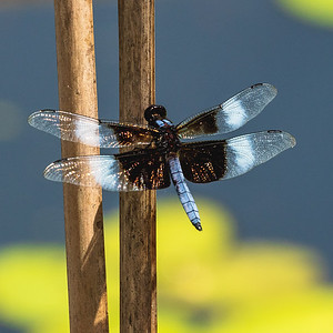 Widow Dragonfly