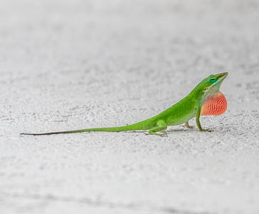Green Anole Showing Off