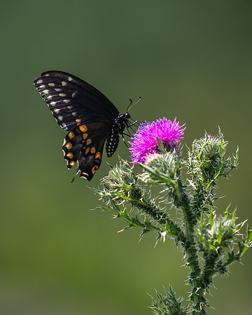 Black Butterfly on Pink Flower