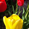 Tulips in the front yard, Spring, 2002.