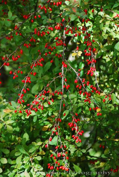 Berried Bush - Kittery, Maine