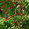 Berried Bush - Kittery, Maine