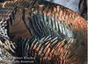 Feathers on a Western Wild Turkey, Meleagris gallopavo, La Plata County, Colorado, USA, North America
