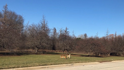 Coyotes at Whitnall Park