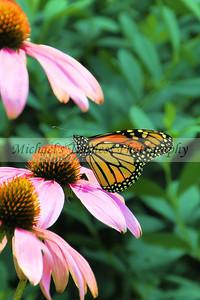 Butterfly (2) - 4 x 6