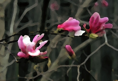 Magnolia Blossoms - watercolor filter