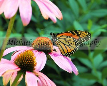 Butterfly (1) - 8 x 10