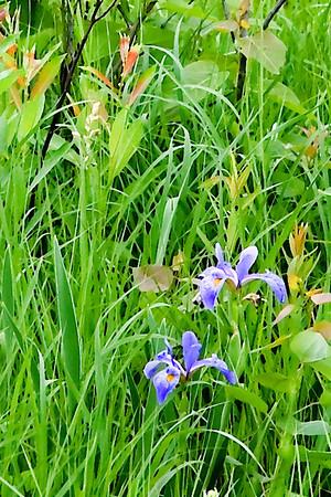 Wild Iris - Dry Brush Filter