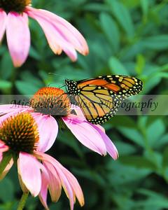 Butterfly (2) - 8 x 10
