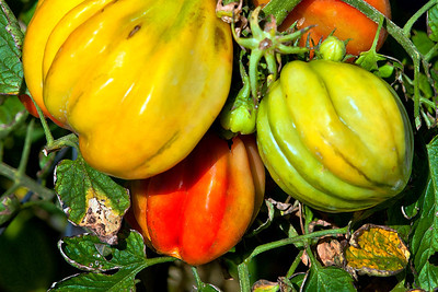 The end of a growing season.  Heirloom tomatoes