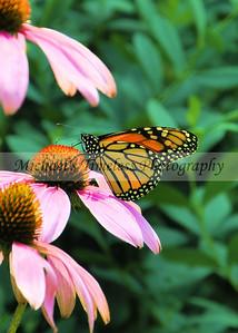 Butterfly (2) - 5 x 7