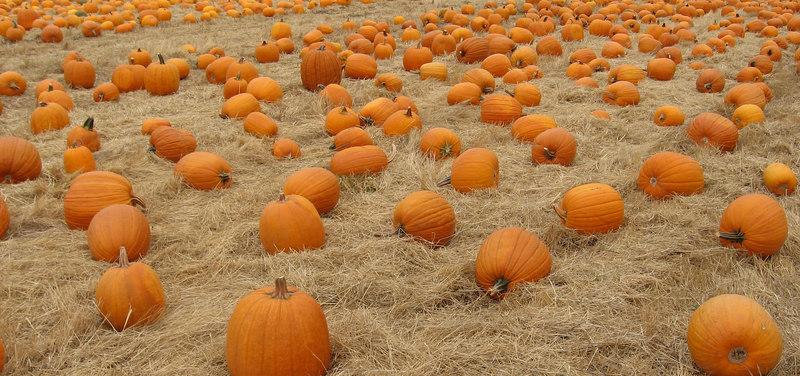 Pumpkins.  Nicasio, Marin County, CA.  October 2006.