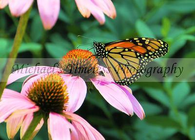 Butterfly (1) - 5 x 7