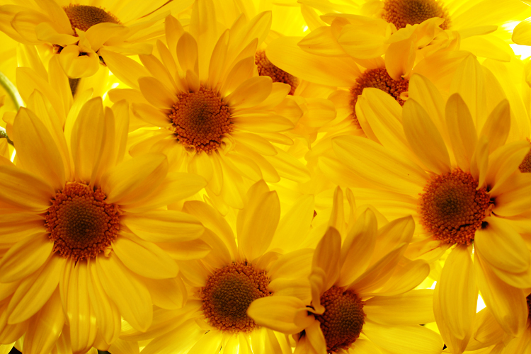 Backlit Daisies