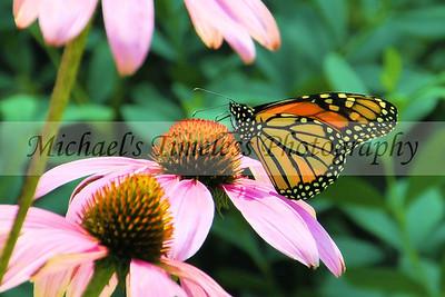 Butterfly (1) - 4 x 6