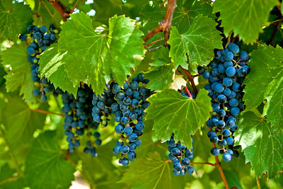 The grapes are ready
