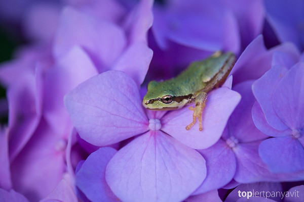 Green frog on hydrangea.