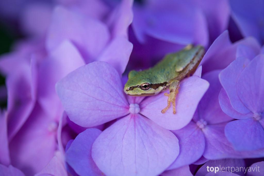 Green frog on hydrangea.