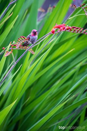 Anna's hummingbird resting on Crocosmia 'Lucifer'.