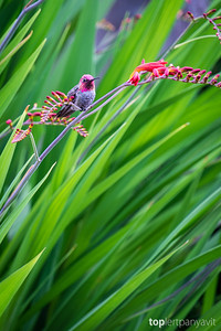 Anna's hummingbird resting on Crocosmia 'Lucifer'.