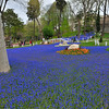 Masses of blue muscari (grape hyacinth) with tulip accents<br /> in the Gulhane Parki adjacent to Topkopi Palace.
