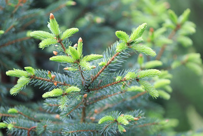 2014_05_25 Spring Colorado Blue Spruce 001