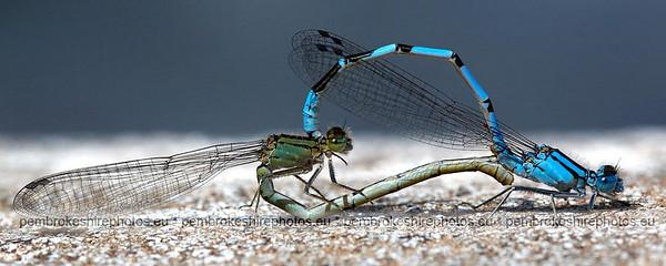 Dragonflies.