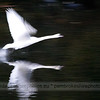 Swan at Stackpole